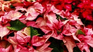 The 6 Holiday Flowers to Brighten Your Home This Season