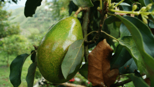 California Could Have an Avocado Crop Year-Round
