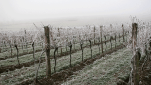 Surprise Spring Frosts Could Hinder French Wine Production