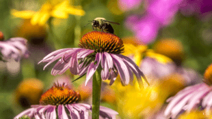 Common Pesticide Threatens Bumblebee Reproduction, According to Researchers