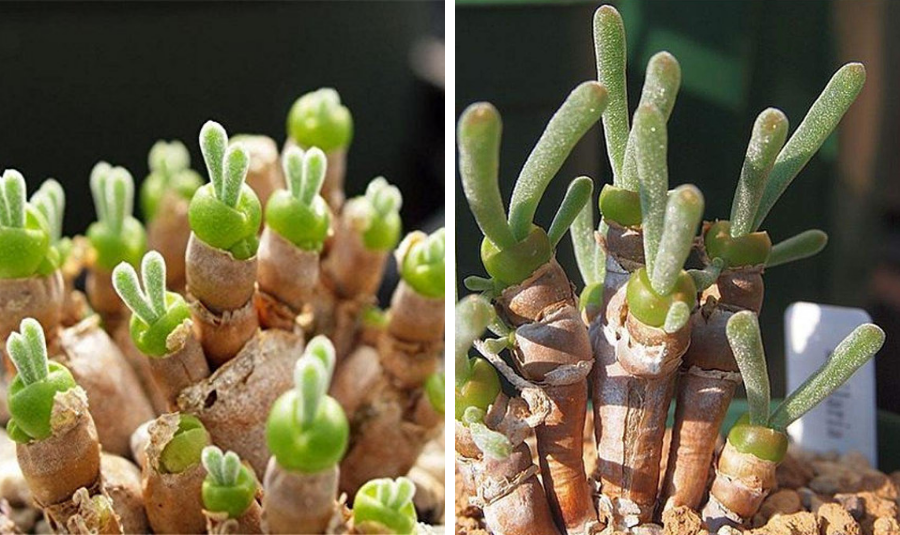 These Bunny Succulents Are The Perfect Addition to your Garden