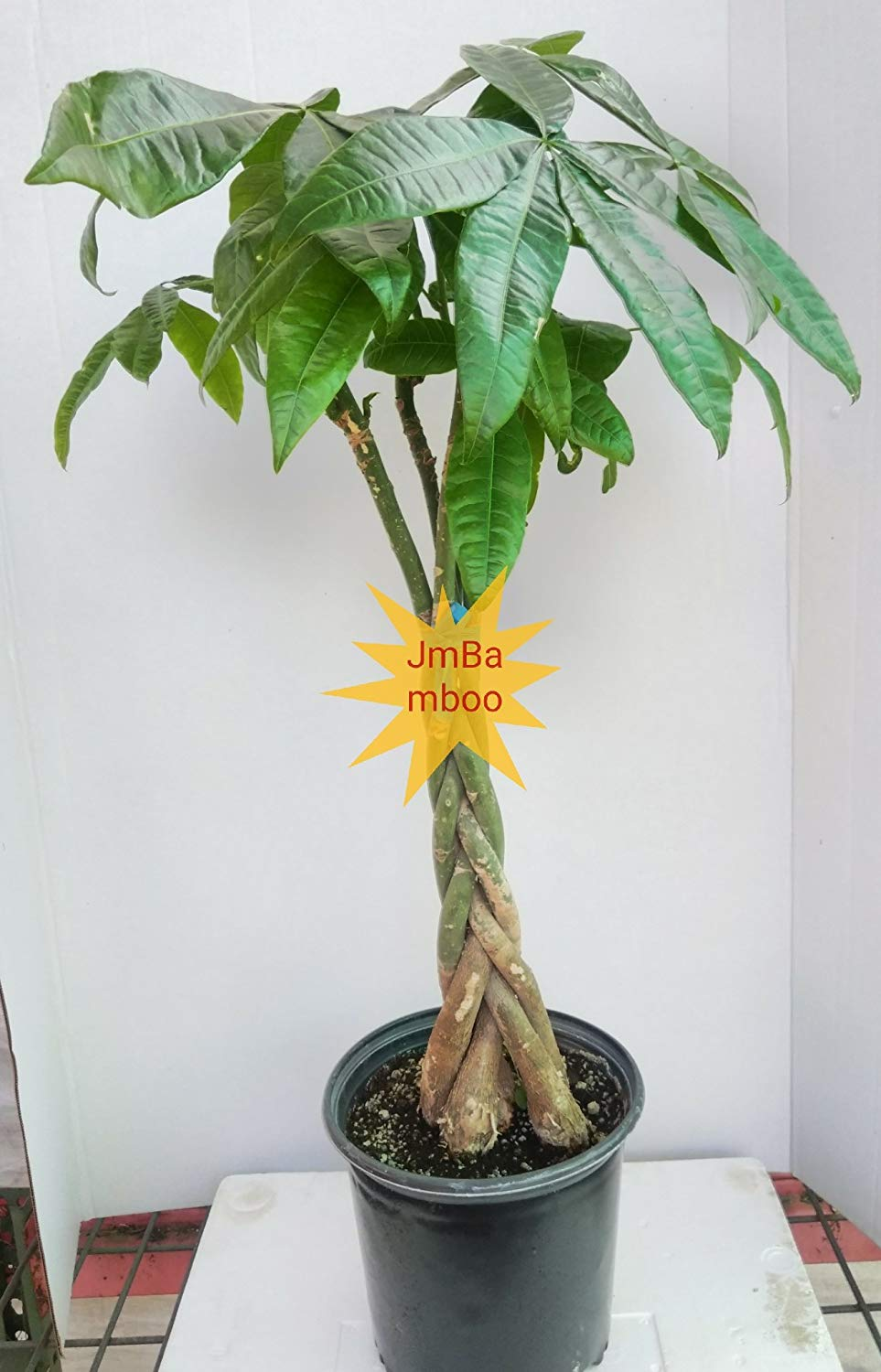 Money Tree Pachira 27''