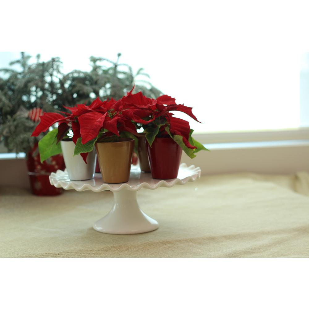 1 Pt. Fresh Red Poinsettia with Red Pot Cover (Live 12-Pack)