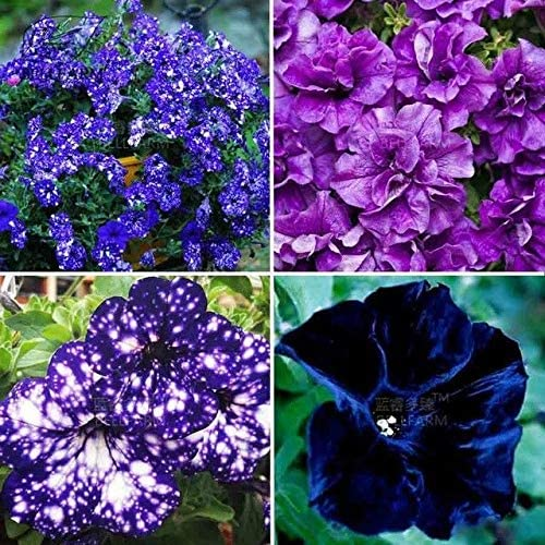 Plentree Petunia Garden Bonsai Moon Night Sky Double Purple Flowers Purple Sky Black