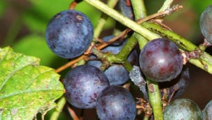 What are Wild Grapes and Can You Eat Them?